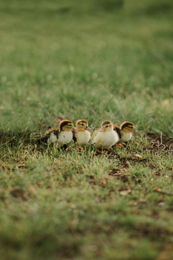 E El joven ducks el grupo reci?n nacido de los animales de la familia cuatro de los polluelos de los patos silvestres del beb? ou fotos de archivo
