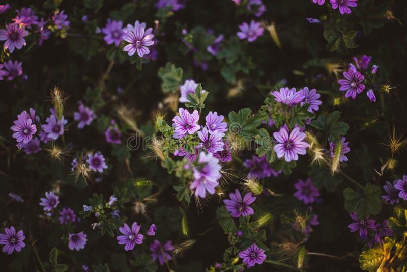 E Flores de Aubrieta foto de archivo
