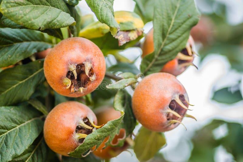 E Frukt av Mespilusgermanicaen fotografering för bildbyråer