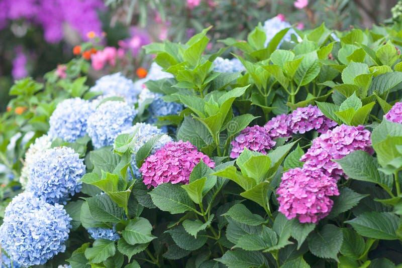 E h?rliga blommor Vanlig hortensiamacrophylla - den h?rliga busken av vanliga hortensian blommar arkivfoton