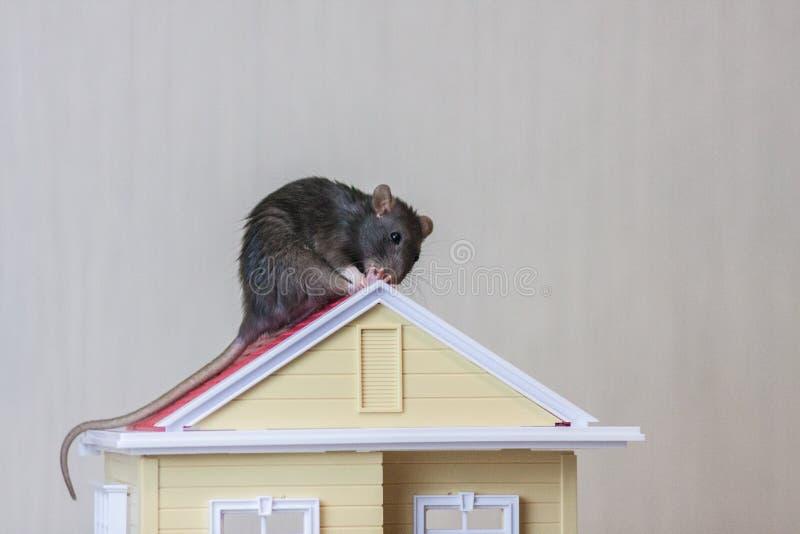 E Herstel het dak r Grijze rat royalty-vrije stock afbeeldingen
