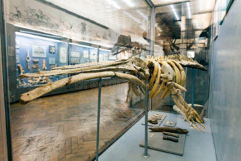 E Het fossiele skelet van de zeewaterdinosaurus royalty-vrije stock foto