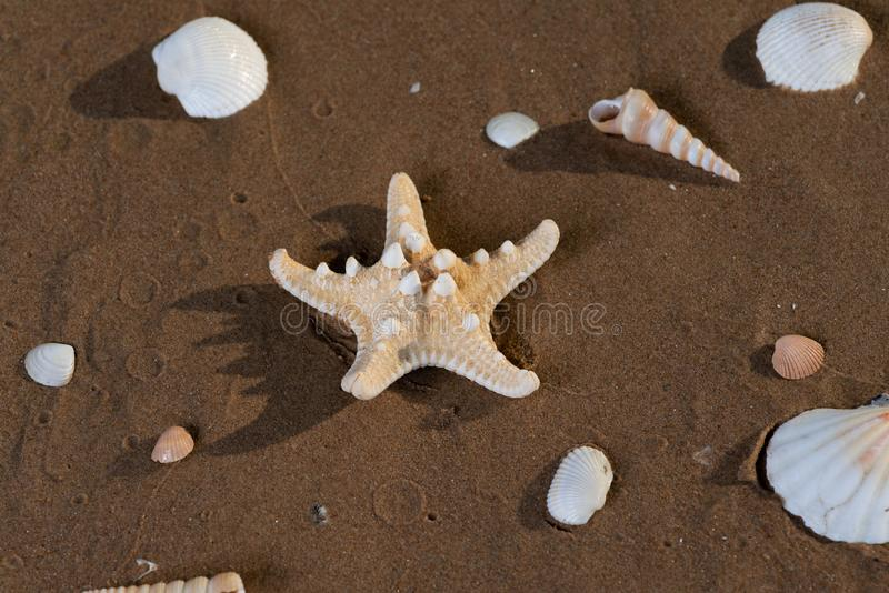 E horned havsstj?rna Choklad Chip Sea Star r arkivfoto