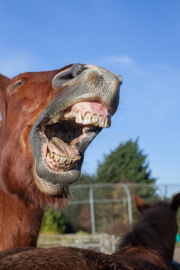 E Imagen animal divertida del meme de un caballo que relincha foto de archivo libre de regalías