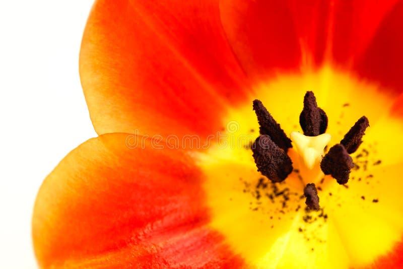 E Inre blomma för detaljtulpan med pistillen och ståndare, glödtråd, stigma, royaltyfria foton
