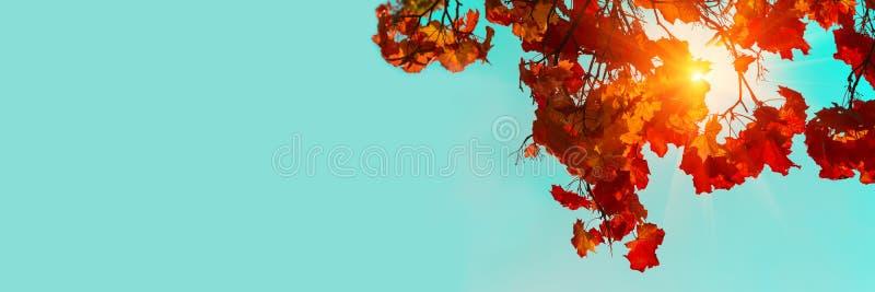 E klonowi kolorowi jesie? li?? Niebo i światło słoneczne przez jesieni gałąź spod spodu li?ci t?a ilustracji pi?kna wektora kopia obrazy stock