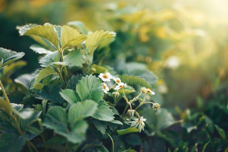 E kwitn?ce truskawki Ogrodowe truskawki r w ogr?dzie Truskawka kwitnie dalej zdjęcie stock