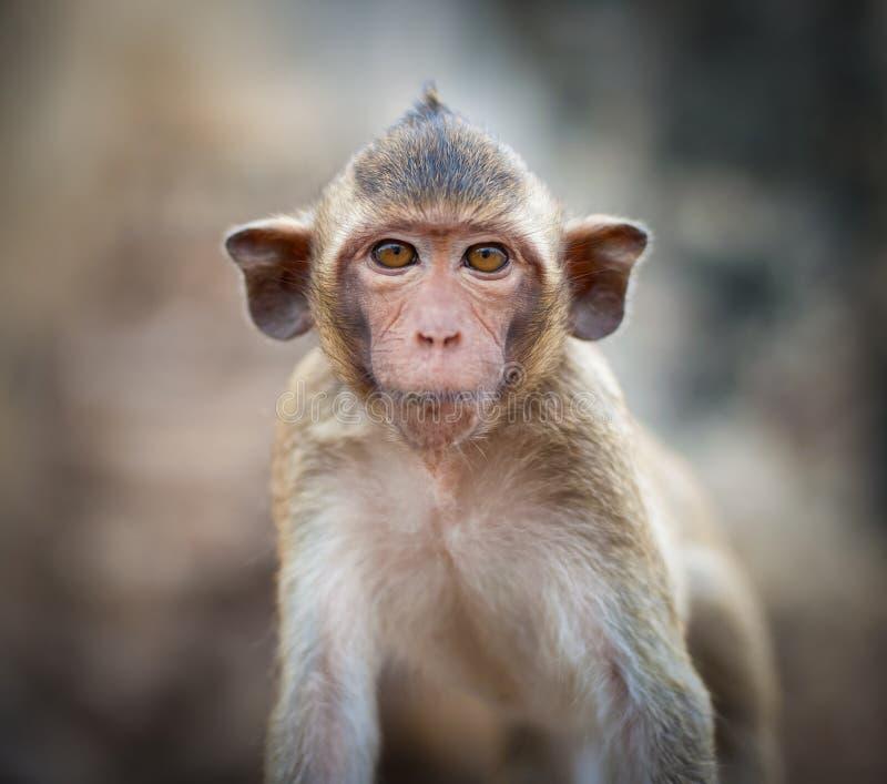E Mono (Cangrejo-consumición o macaque de cola larga) foto de archivo