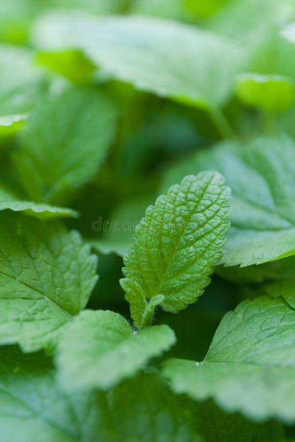 E Mooie groene bladeren stock afbeelding