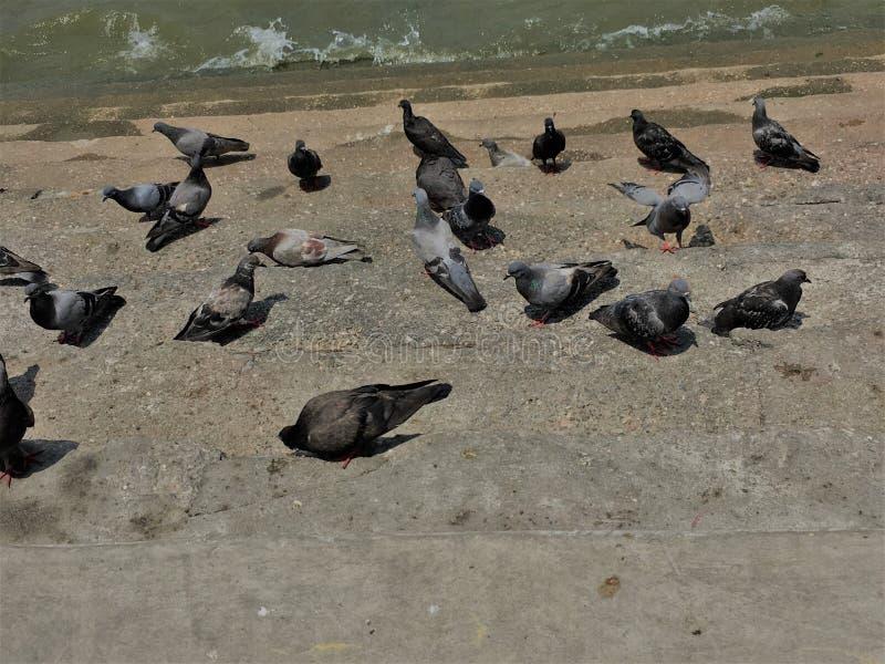 E Muchedumbre de paloma en la calle que camina r r imágenes de archivo libres de regalías