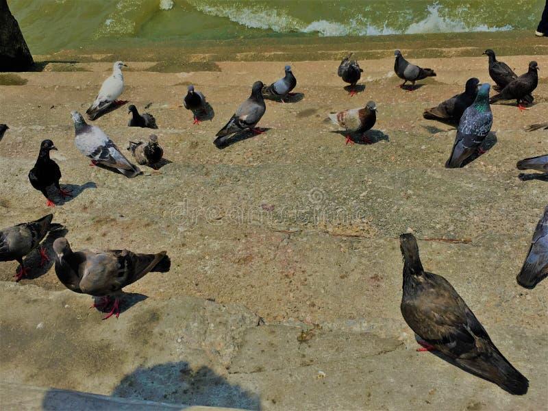 E Muchedumbre de paloma en la calle que camina r r imagen de archivo
