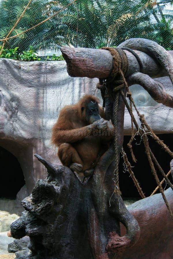 2009 05 E Orang-outan sur l'arbre photos stock