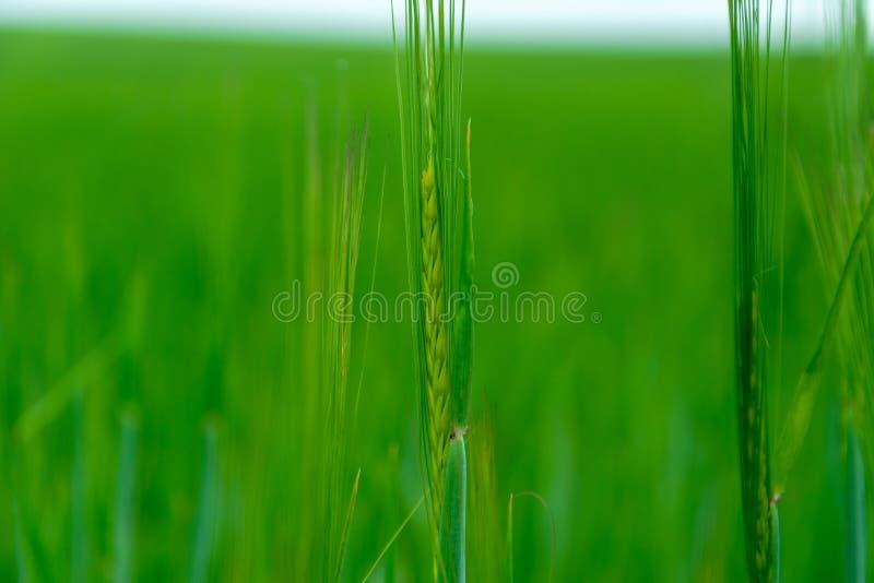 E Orge verte focalisée dans le grand domaine de blé rural agricole image stock