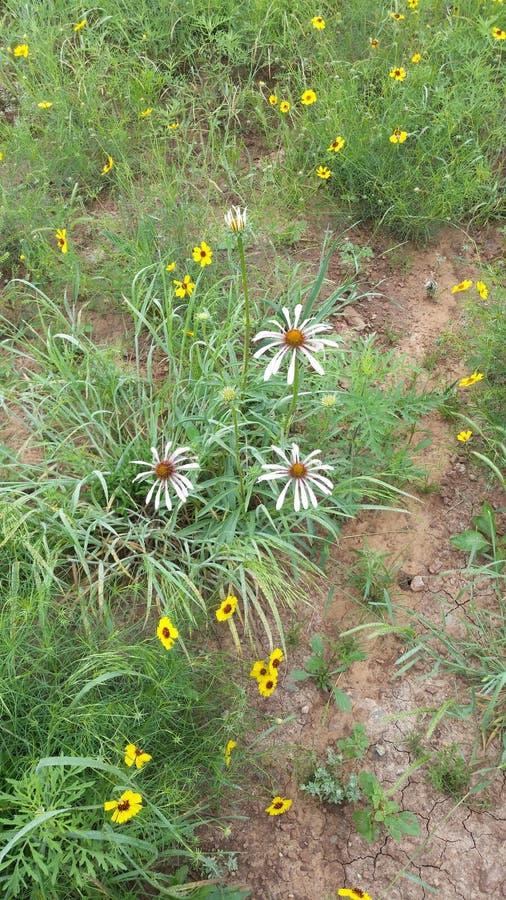 E os wildflowers da mola apenas mantêm-se florescer! imagens de stock royalty free