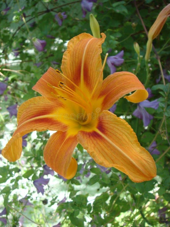 E Pe?ny kwitnienie g??boka pomara?czowa asiatic leluja w lato kwiacie zdjęcia stock