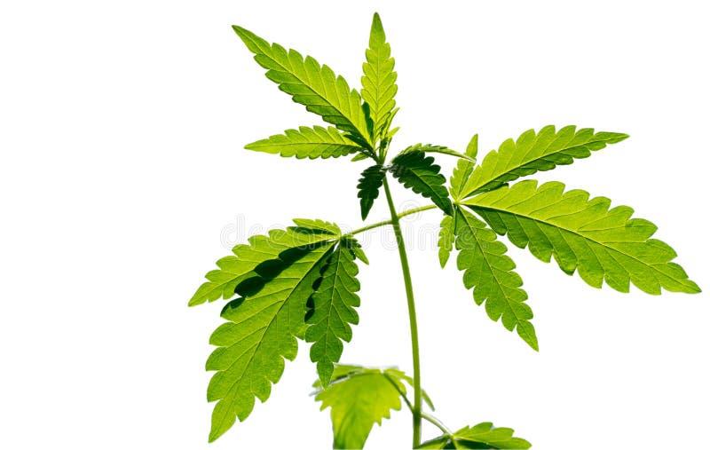 E Pousse de marijuana photographie stock