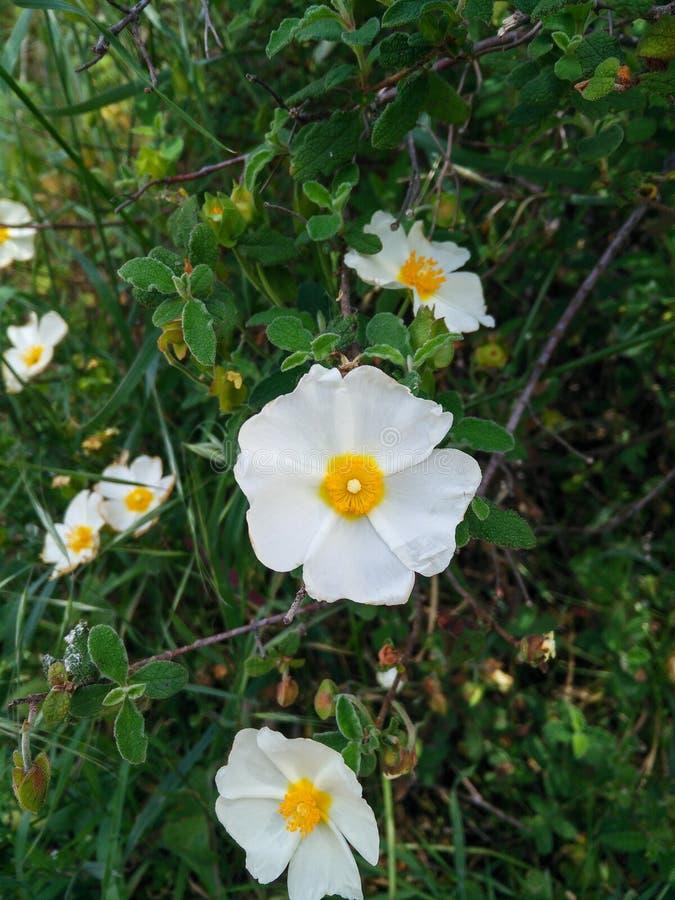 Σαρδηνία Φύση Φυτό του Cistus salviifolius Ροδοπέδιλο, Salvia cistus ή Gallipoli στοκ φωτογραφίες