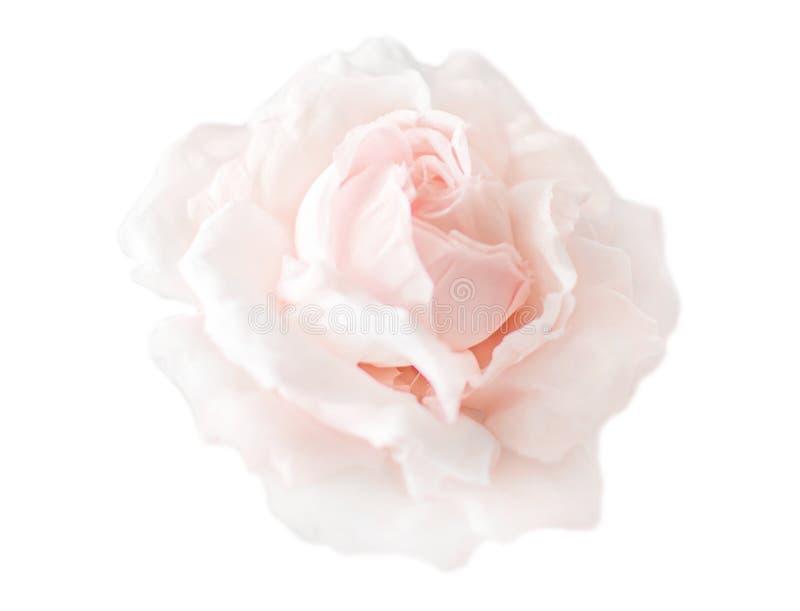 Bellissima rosa rosa rosa rosa di fiori rosa in una crema isolata su fondo bianco Testa di rosa aperta di fiori senza foglie Rosa fotografie stock