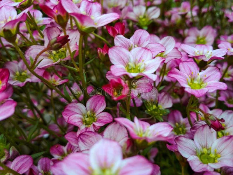 Beaucoup de petites fleurs roses arrière-plan saxifragiles. Arrière-plan de petites fleurs roses. Fleurs violettes ou montagne r photo libre de droits