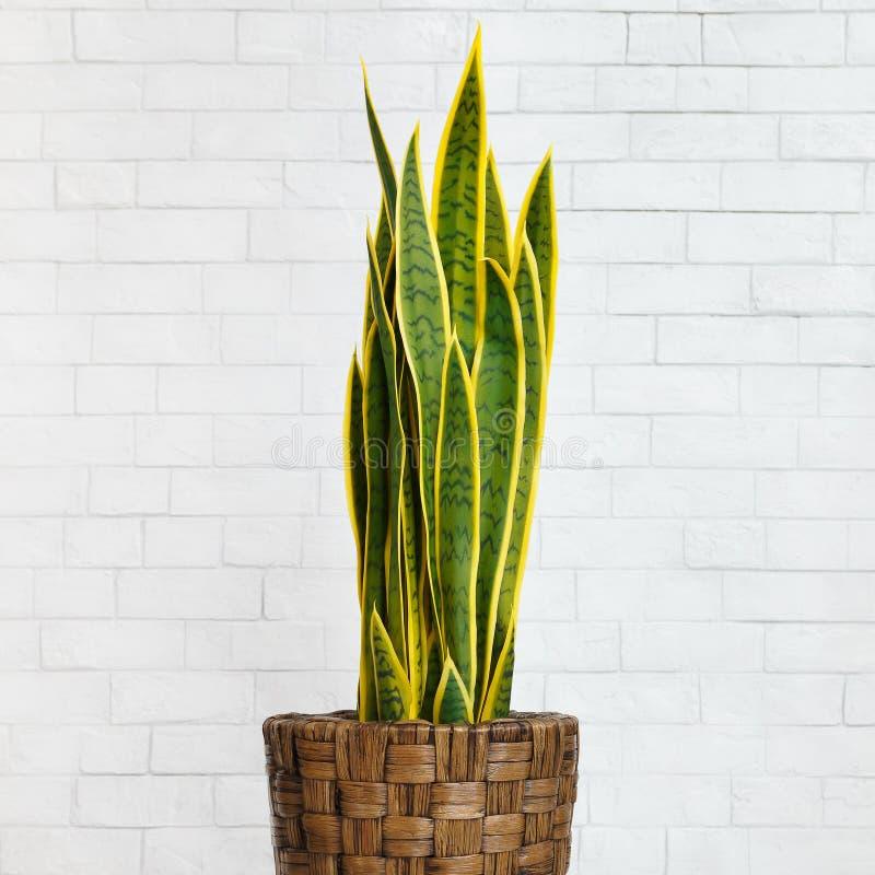 растение змеи в дий-коричневом котле, урожай стоковое фото
