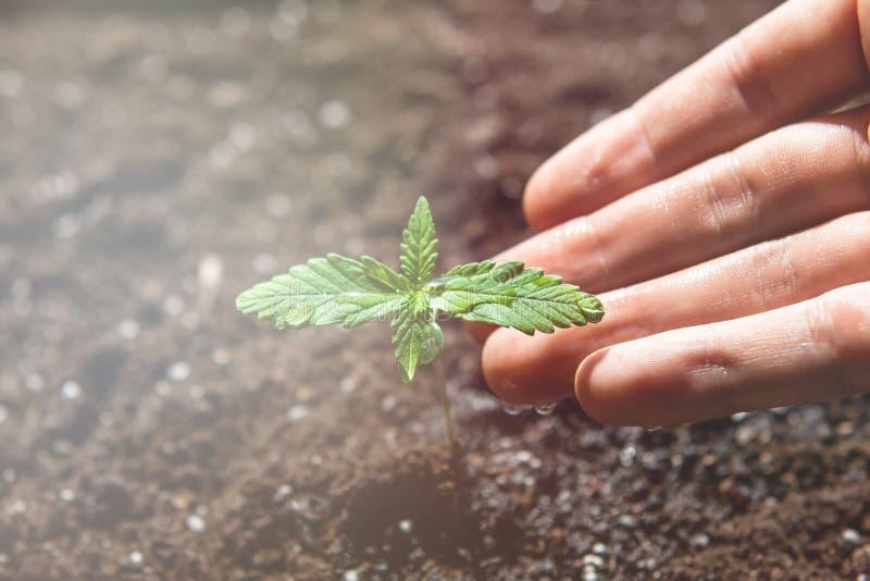 E 大麻幼木一棵小植物  植被大麻阶段  免版税库存照片