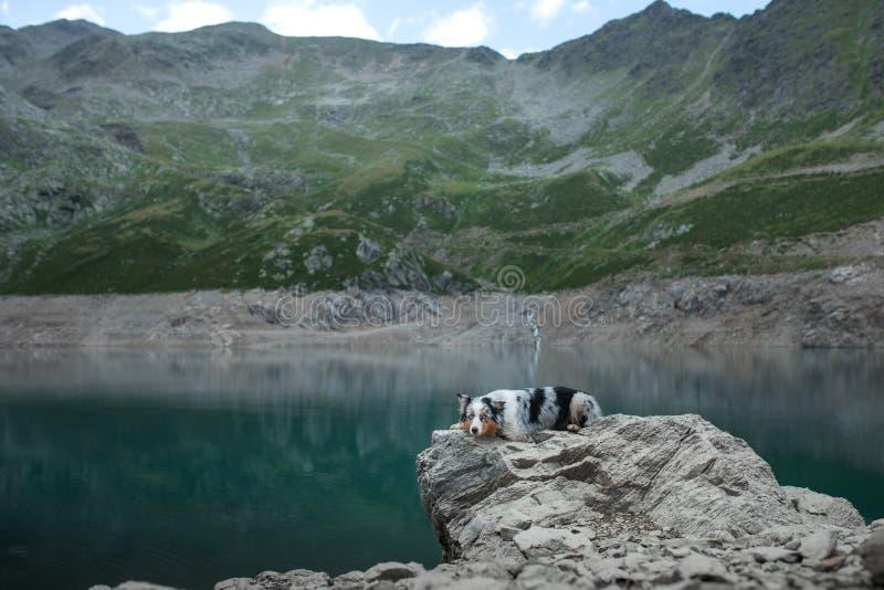 湖畔澳大利亚牧羊人 带着狗在山里旅行 宠物冒险 库存图片