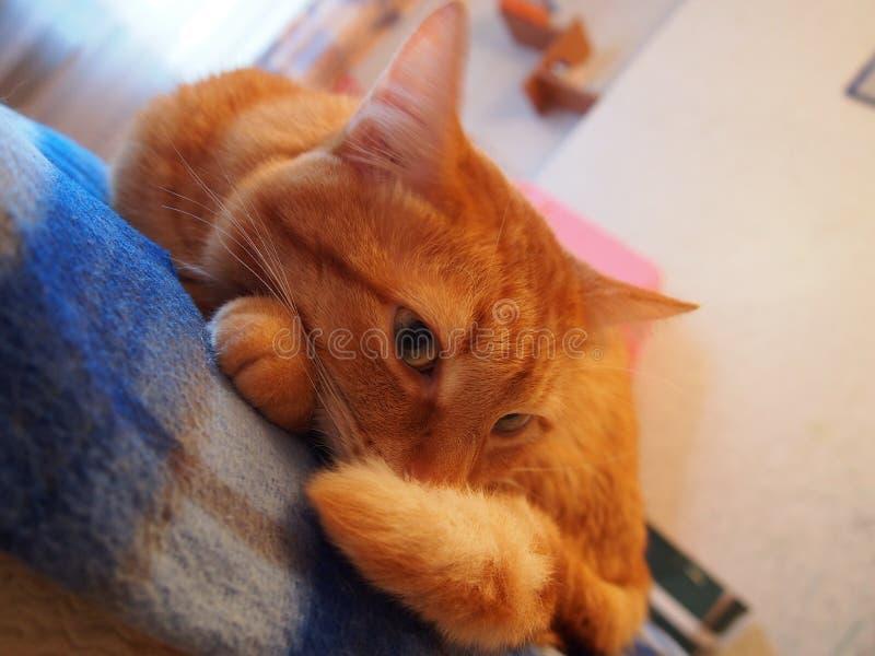 红猫 凯特看着他的主人 猫美红 库存图片