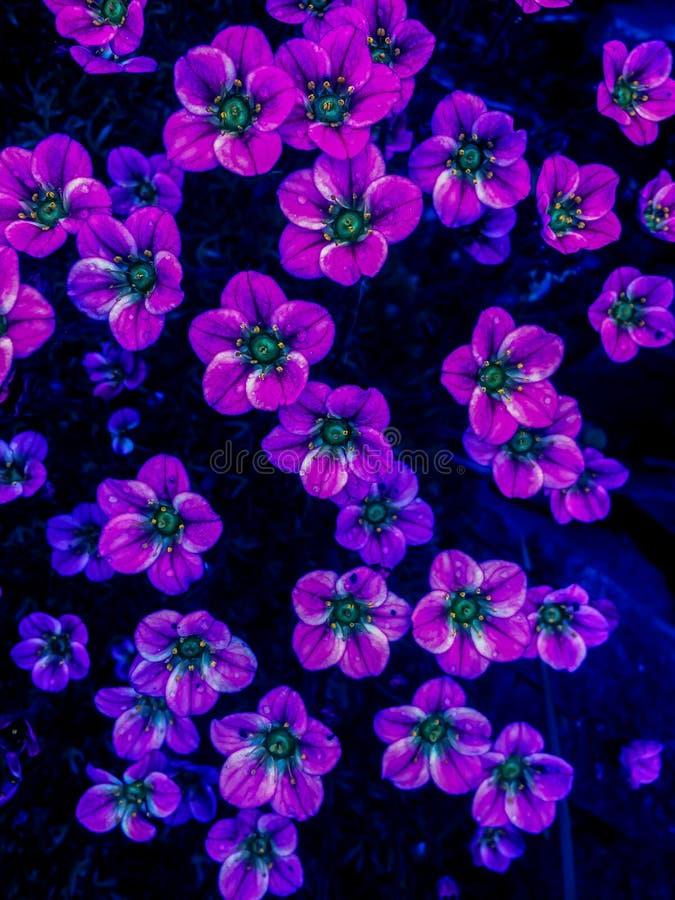 Beaucoup de petites fleurs roses arrière-plan saxifragiles Arrière-plan de petites fleurs roses Fleurs violettes ou montagne rose photos libres de droits
