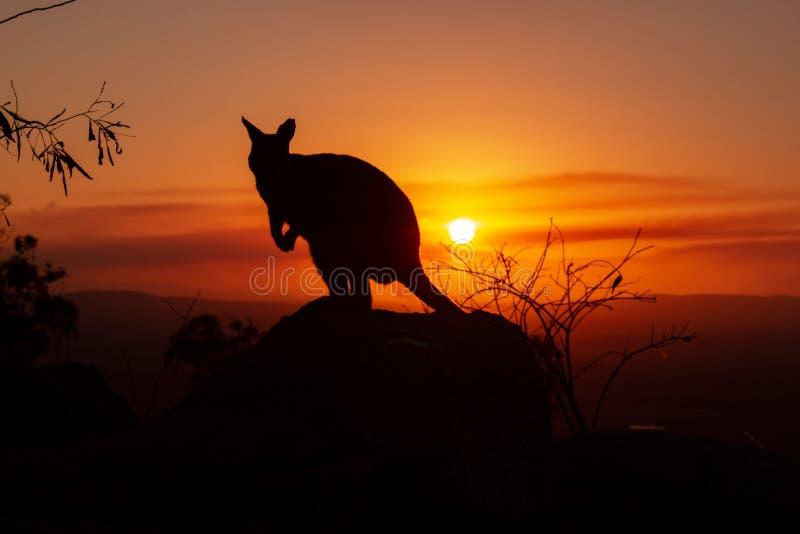背景中美丽日落的岩石上袋鼠的轮廓 这只动物正对着摄像机 昆士兰, 免版税库存图片