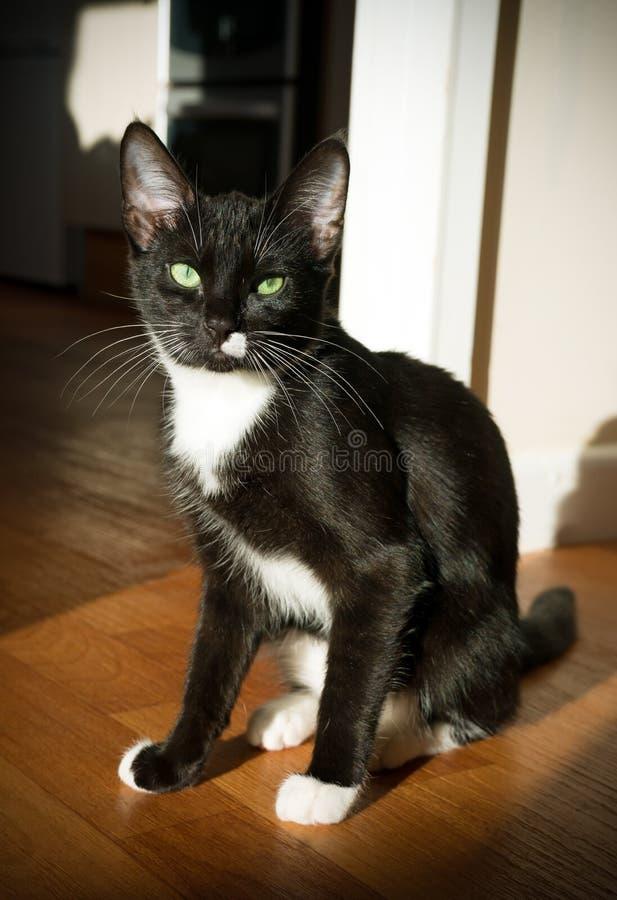 与坐的嫉妒的黑白猫在阳光下 库存图片