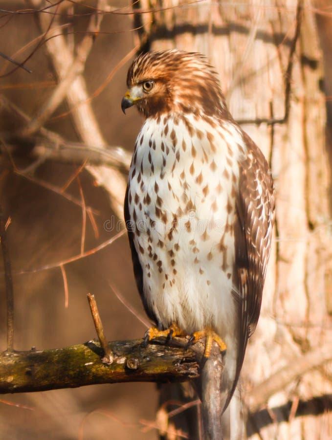 在沿足迹的一棵树栖息的红色被担负的鹰 库存图片