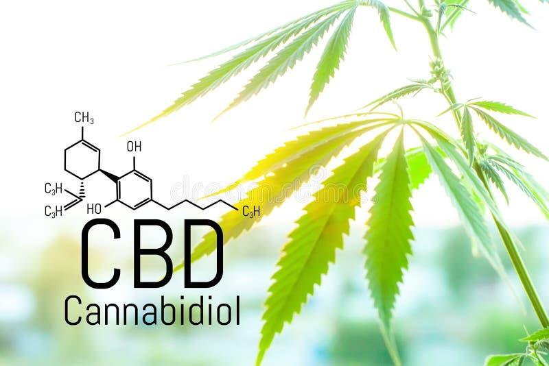 大麻概念作为一种普遍的补救办法,药用CBD油 将大麻用于药用目的的构想 大麻有机 免版税库存照片