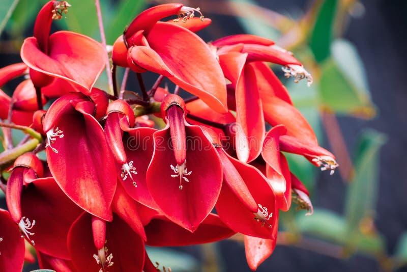 Den Erythrina för Cockspurkorallträdet cristaen-galli är ett blomma träd i familjfabaceaen, inföding till Sydamerika; brett plant royaltyfria bilder