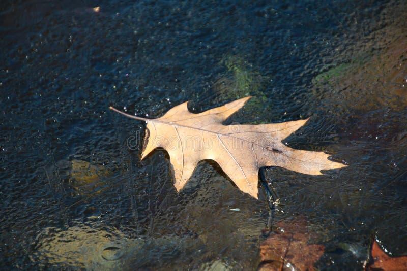 在稀薄的冰的五颜六色的秋天橡木叶子在银色小河俄亥俄 库存例证
