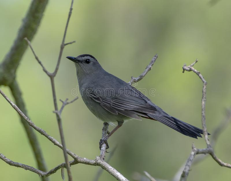 Catbird που σκαρφαλώνει σε έναν κλάδο στοκ εικόνα