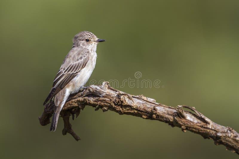 Επισημασμένο flycatcher στο εθνικό πάρκο Kruger, Νότια Αφρική στοκ φωτογραφία