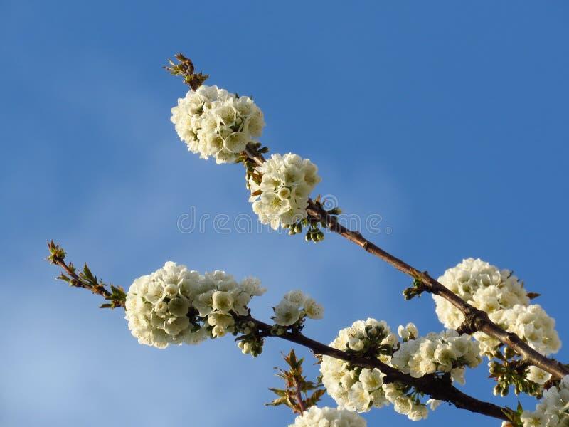 Blühende Kirschbaumfäden auf klarem, blauen Himmelshintergrund Kirschbaumblüte Frühjahr stockfotografie