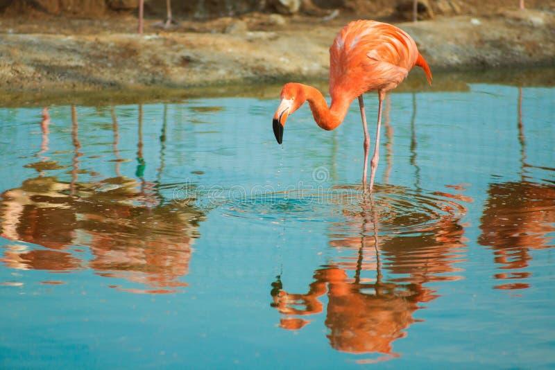 Oranje flamingo in lichtblauw water In het wild levende tropische exotische vogels Reflectie in het water royalty-vrije stock fotografie