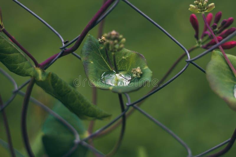 Raindrop op een groen blad van een bloem op de achtergrond van het omheiningsrooster Een druppel dauw in de groene bladeren Bloem stock foto's