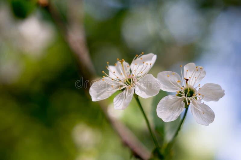 Vita blomningar av körsbäret med suddig bakgrund Branche av körsbäret Blommar k?rsb?rsr?d n?rbild Natursk?nhet fantastisk liggand royaltyfria bilder