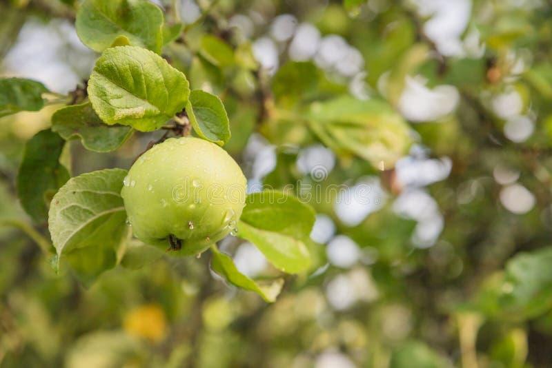 Pommes vertes mûres organiques s'élevant sur l'arbre prêt à être moissonné Verger de fruit le jour ensoleillé d'été Branche de po photo stock