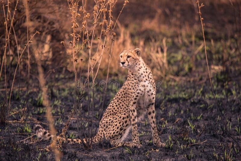 Cheetah nella savana africana Safari nella savana del parco nazionale del Serengeti, Tanzania Vicino a Maasai Mara Bruciato fotografia stock libera da diritti