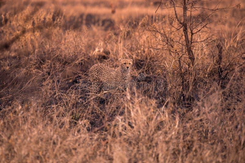 Cheetah nella savana africana Safari nella savana del parco nazionale del Serengeti, Tanzania Vicino a Maasai Mara Bruciato immagine stock libera da diritti