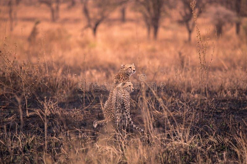 Cheetah nella savana africana Safari nella savana del parco nazionale del Serengeti, Tanzania Vicino a Maasai Mara Bruciato fotografie stock libere da diritti