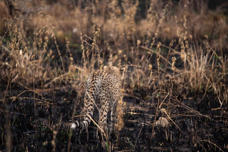 Cheetah nella savana africana Safari nella savana del parco nazionale del Serengeti, Tanzania Vicino a Maasai Mara Bruciato fotografia stock