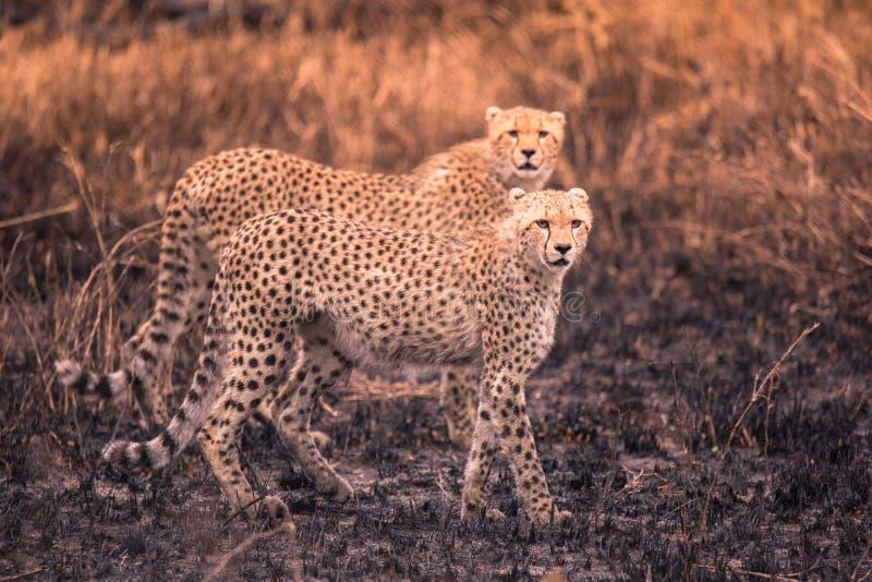 Cheetah nella savana africana Safari nella savana del parco nazionale del Serengeti, Tanzania Vicino a Maasai Mara Bruciato fotografie stock