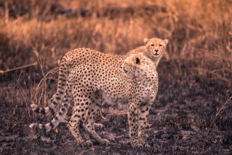 Cheetah nella savana africana Safari nella savana del parco nazionale del Serengeti, Tanzania Vicino a Maasai Mara Bruciato immagini stock libere da diritti