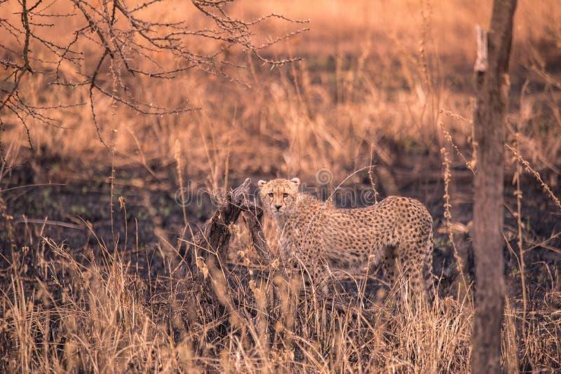 Cheetah nella savana africana Safari nella savana del parco nazionale del Serengeti, Tanzania Vicino a Maasai Mara Bruciato immagini stock