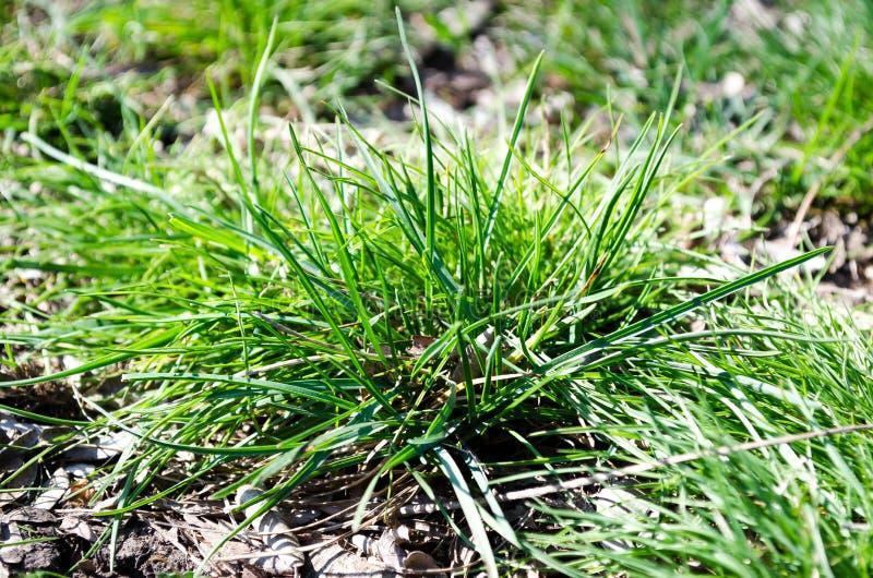 E r Bush-gras Groen gras Ecologie van de stad Gevaar stock foto's