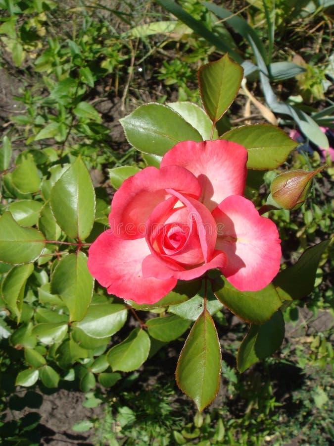 Hermosa rosa en un jardín Hermosa rosa rosa delicada y florida sobre un fondo verde oscuro Concepto de amor en imagen de archivo